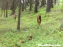 Deer Vs Dog Animal Videos