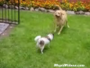 Dog Walks Dog Animal Videos